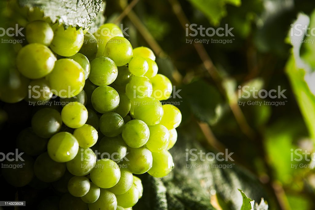 White wine grapes royalty-free stock photo