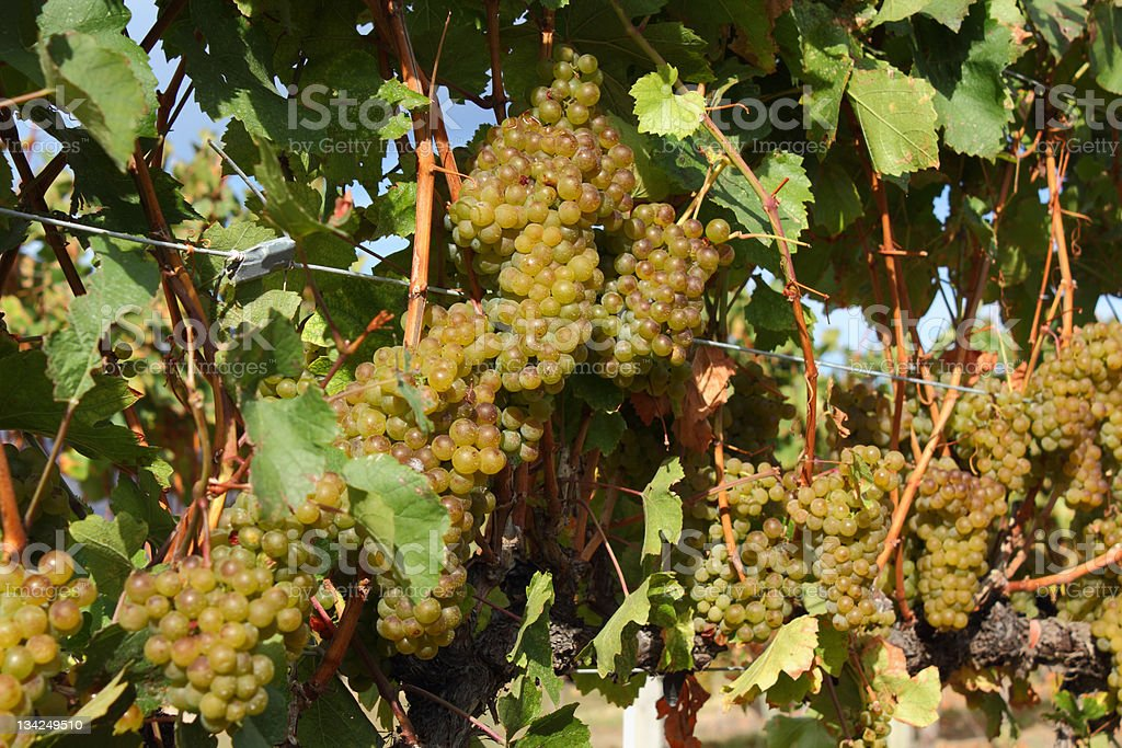 White Wine Grapes Ready for Harvest royalty-free stock photo