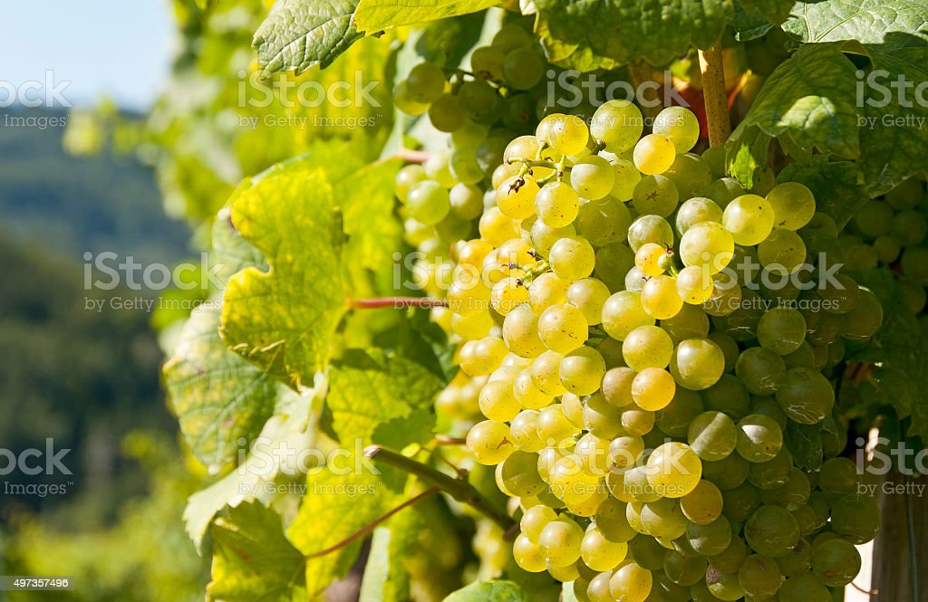 White wine grapes, Wachau, Austria stock photo