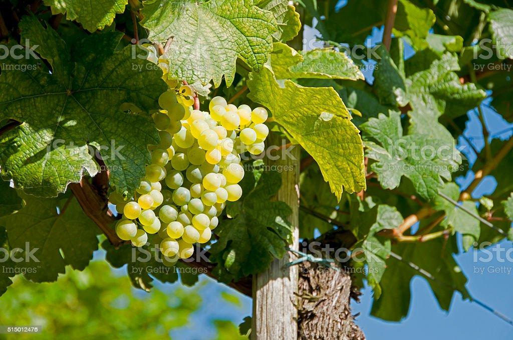 White wine grapes - Wachau stock photo