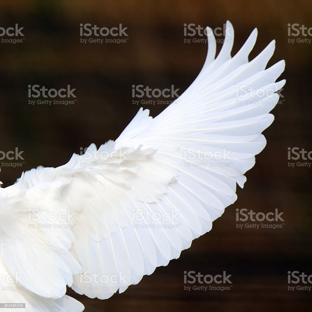 White wing stock photo