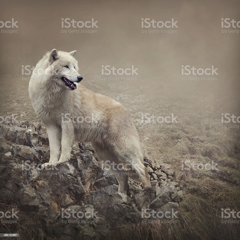 A white wolf in the nature portrait stock photo