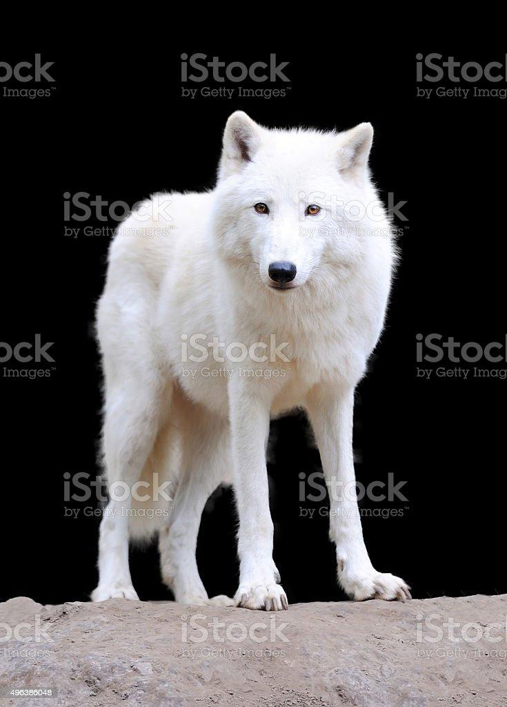 White wolf on dark background stock photo