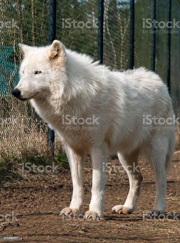 White Wolf stock photo
