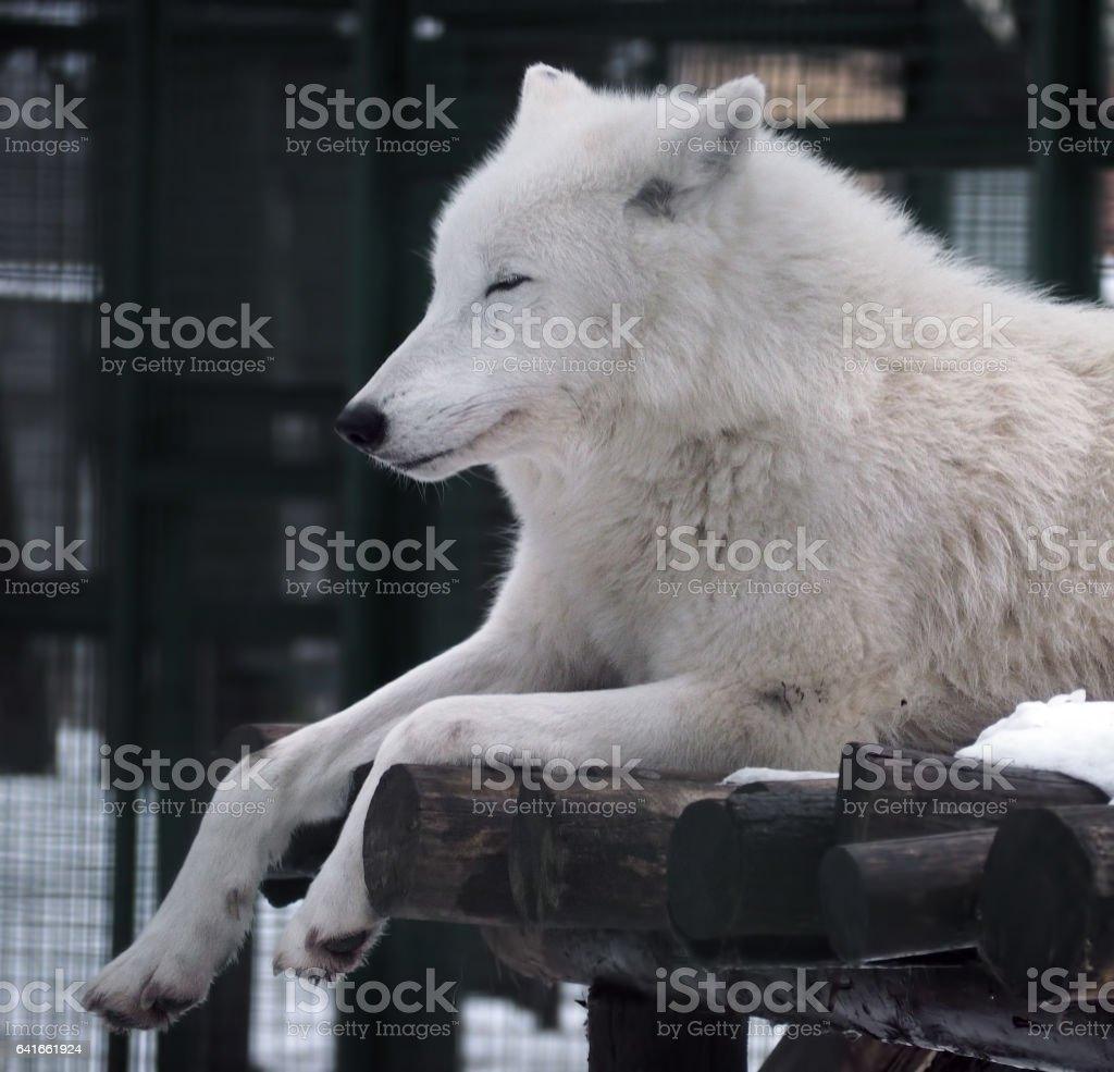 White wolf sleeping stock photo