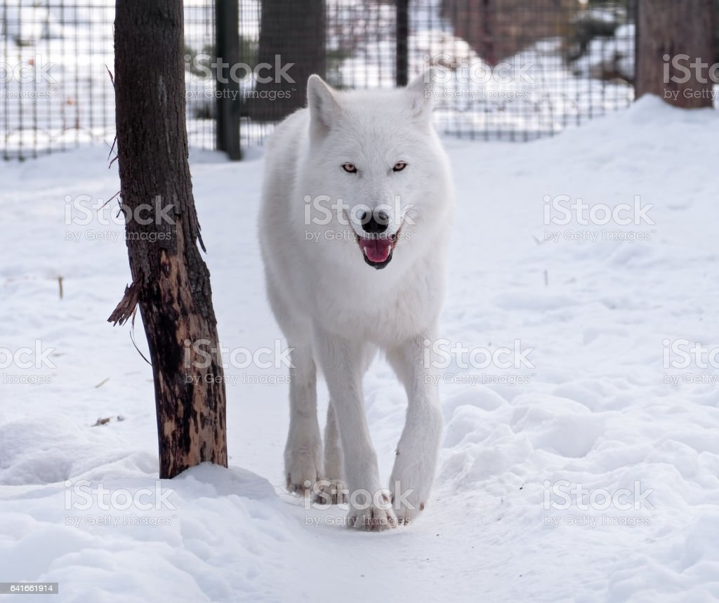 White wolf walking at the snow looking at the camera stock photo