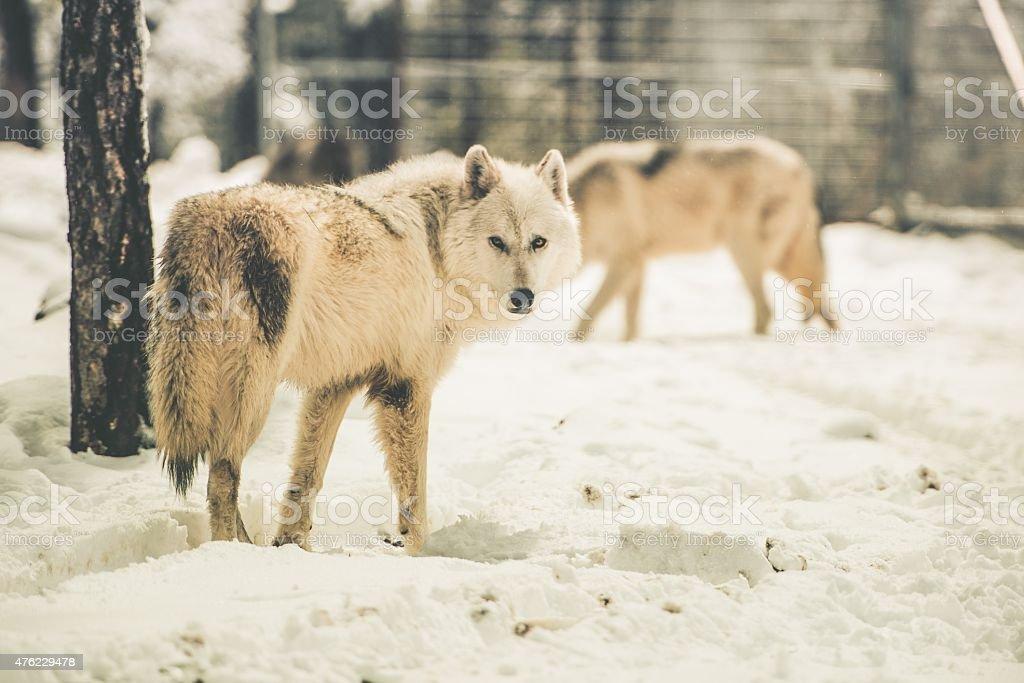 White Wolfs Pack stock photo