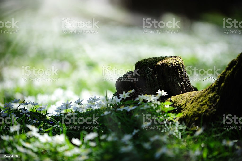 White wood anemones in oak forest royalty-free stock photo