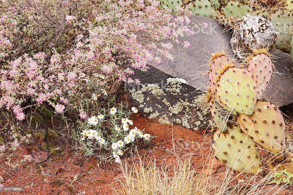 White Woolly Daisies Eriophyllum lanosum Desert Plants stock photo
