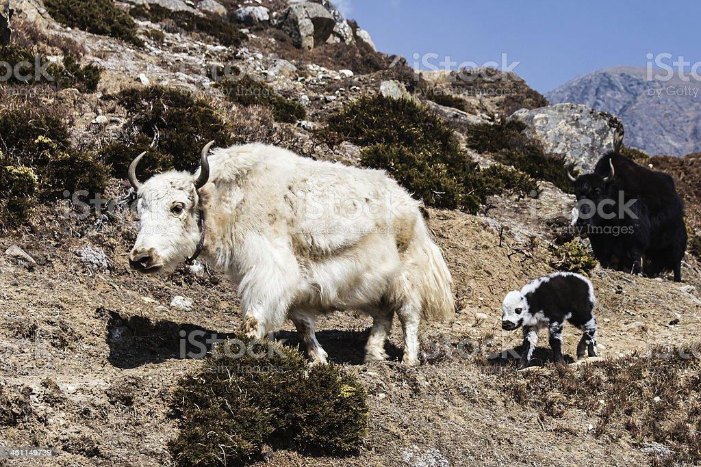 White Yak and calf in Khumbu region of Nepal royalty-free stock photo