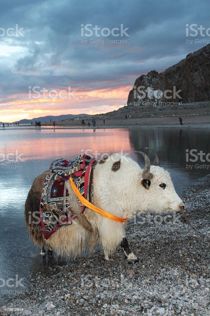 White yak at Namtso lake, Tibet stock photo
