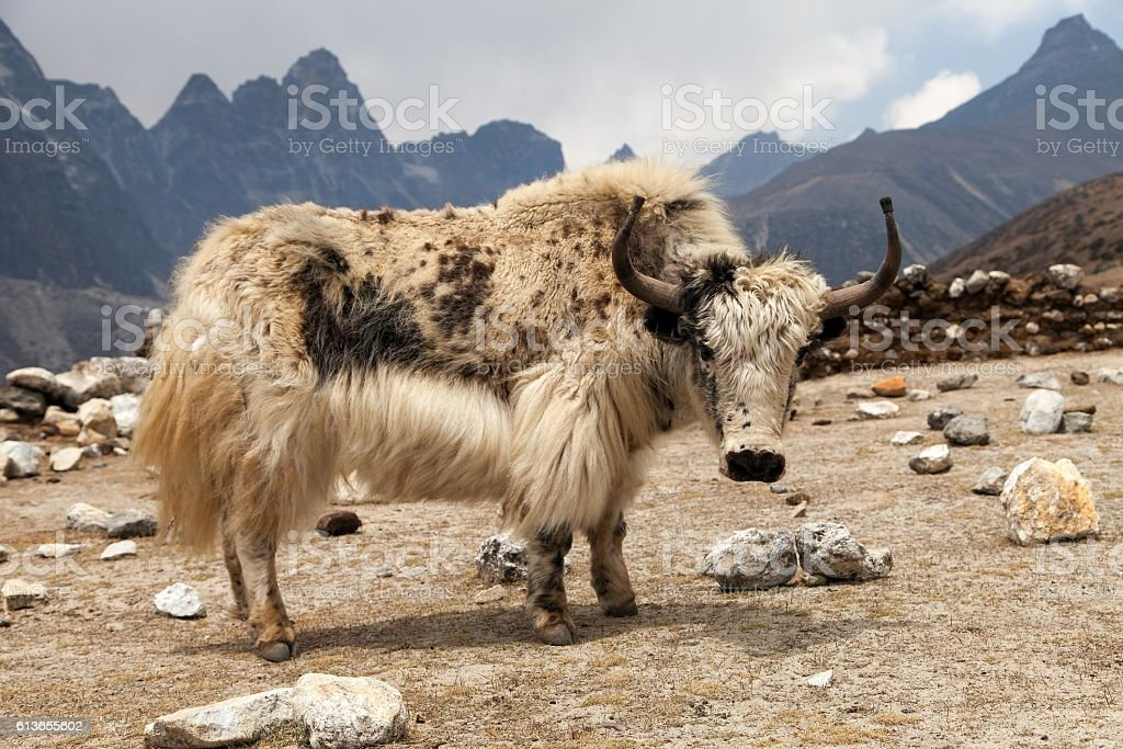 White yak on the way to Everest base camp stock photo