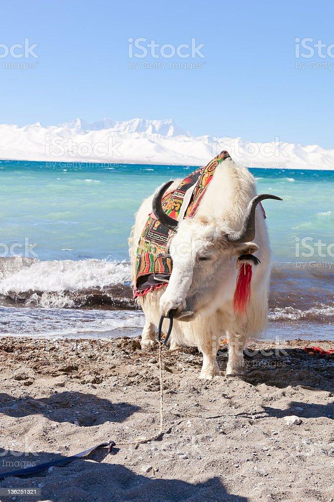 White Yaks on Namtso lake, Tibet stock photo