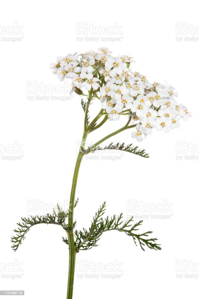 White Yarrow Achillea flower in bloom on white background stock photo