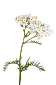 White Yarrow Achillea flower in bloom on white background