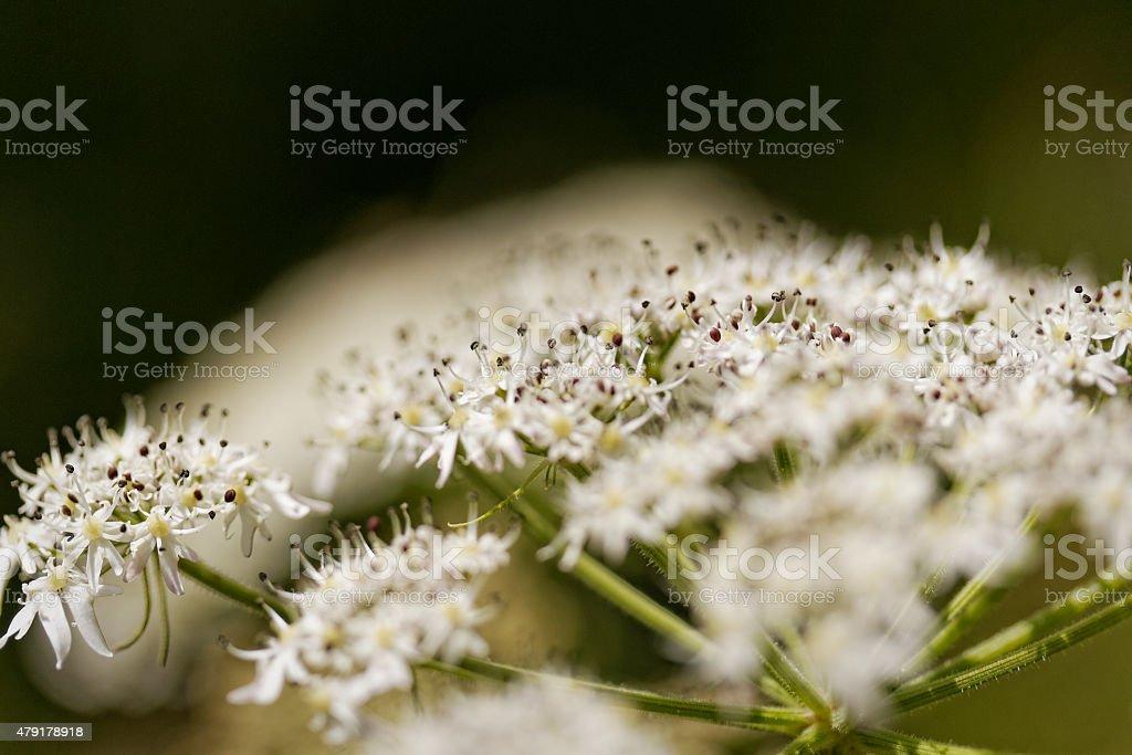 White Yarrow Blossoms stock photo