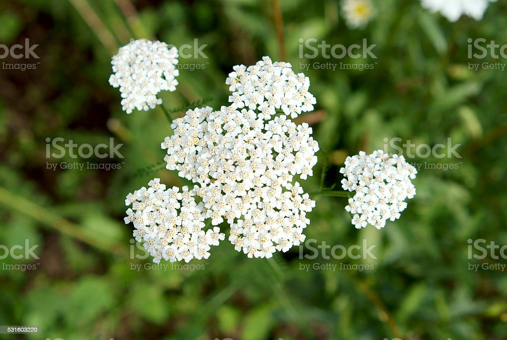 White yarrow flowers on a green background stock photo