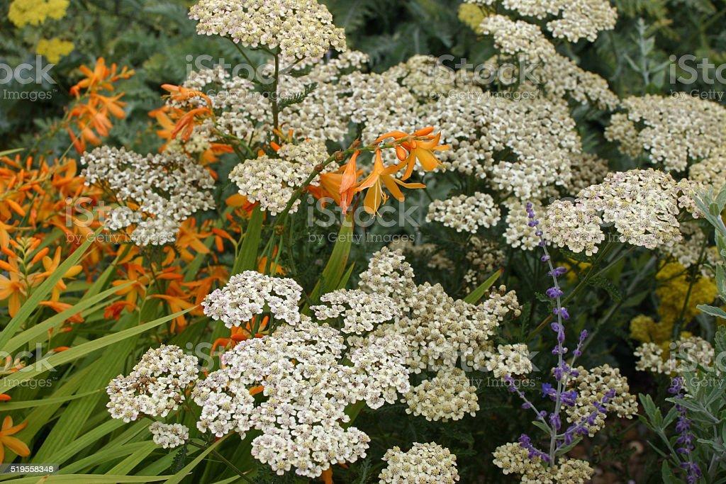 White yarrow flowers stock photo