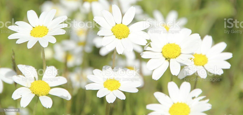 white yellow spring flowers royalty-free stock photo