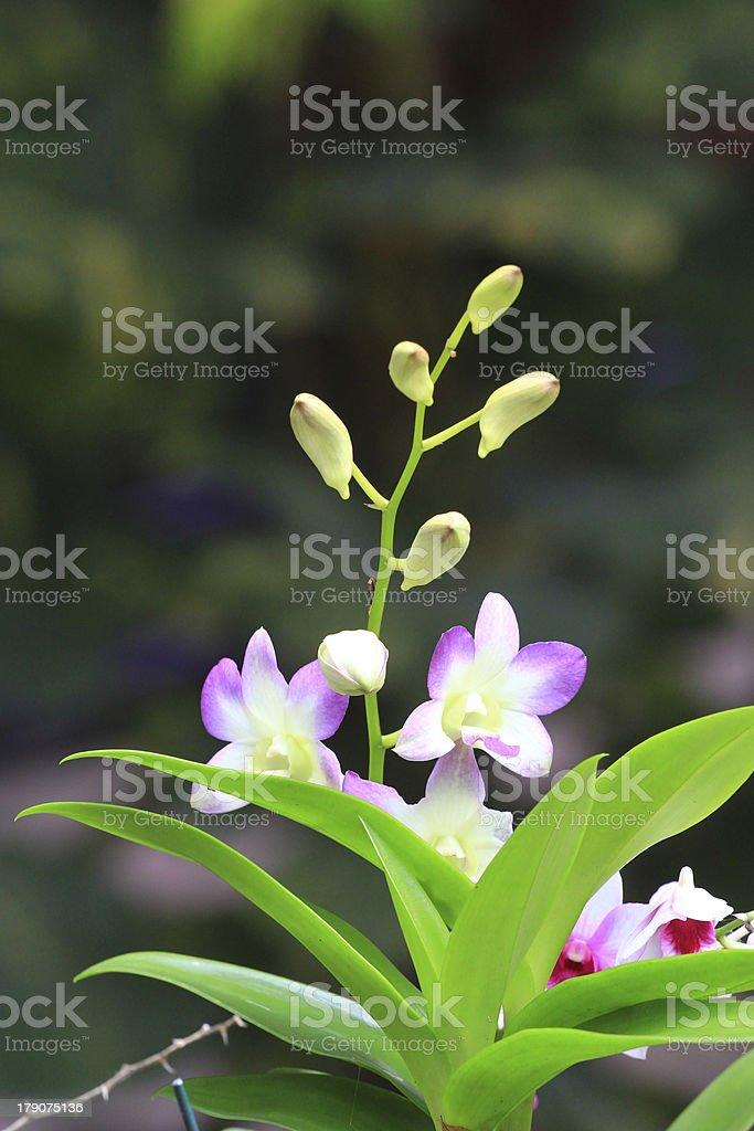 white ymbidium ,orchid royalty-free stock photo