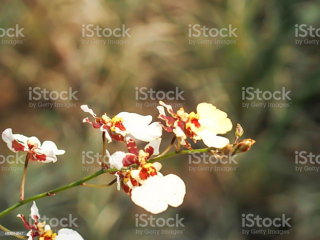 white ymbidium ,orchid stock photo