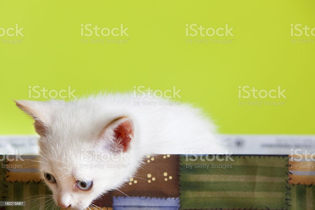 white young cat in a box stock photo
