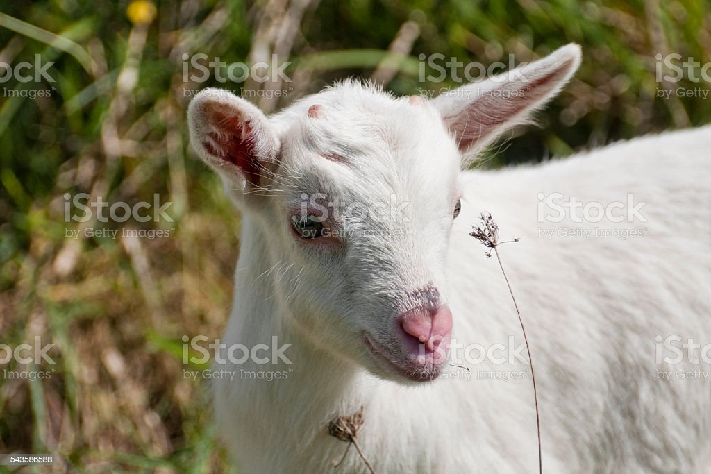White young goat stock photo