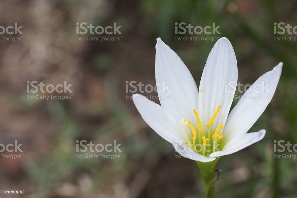 White Zephyranthes lily at Phu Hin Rong Kla national park royalty-free stock photo