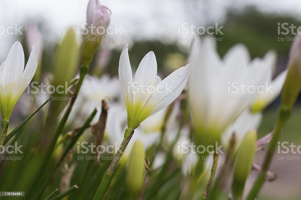 White Zephyranthes lily at Phu Hin Rong Kla national park royalty-free stock photo