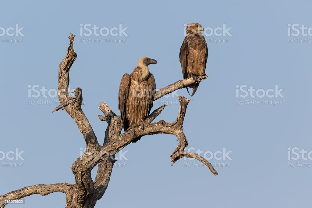 White-backed vulture and Tawny eagle stock photo