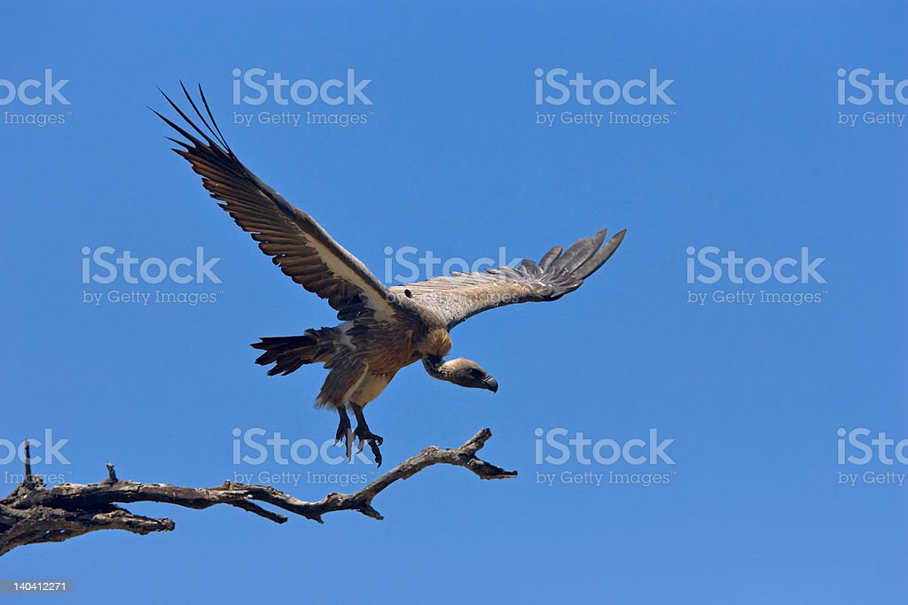 Whitebacked Vulture stock photo