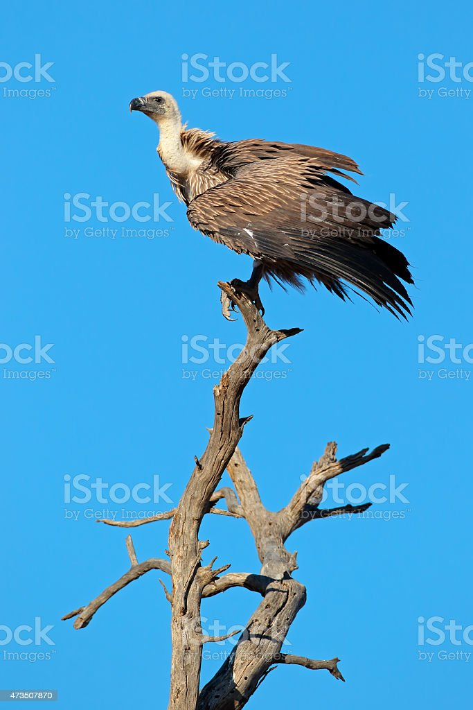 White-backed vulture stock photo