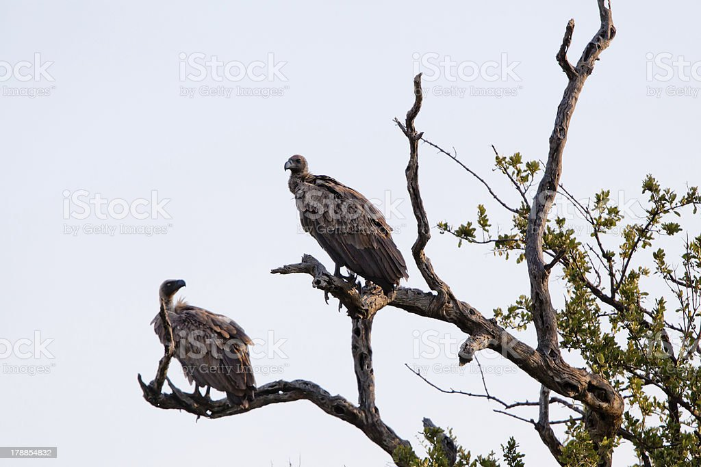 White-backed Vultures on bare tree trunk royalty-free stock photo