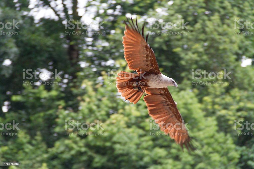 White-bellied Sea Eagle stock photo