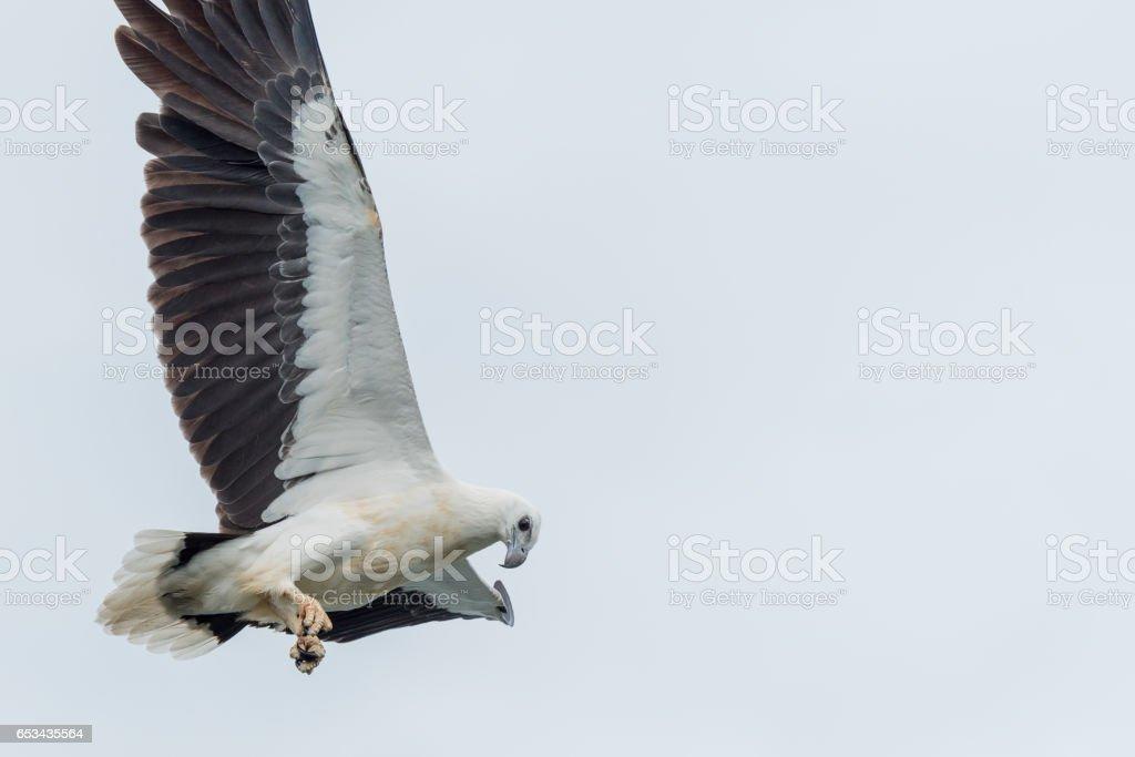 White-bellied sea-eagle stock photo