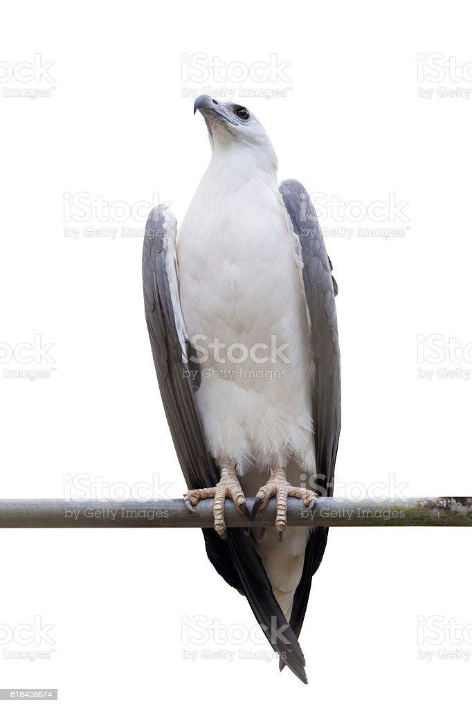 White-bellied Sea-eagle, White-bellied Fish-eagle, White-breaste stock photo