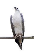 White-bellied Sea-eagle, White-bellied Fish-eagle, White-breaste