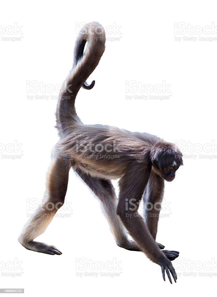 White-bellied spider monkey stock photo