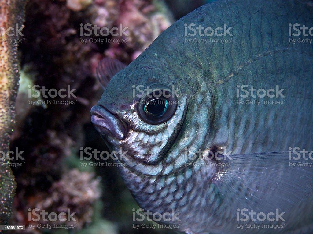 White-belly damsel fish, Weissbauch-Riffbarsch (Amblyglyphidodon leucogaster) stock photo