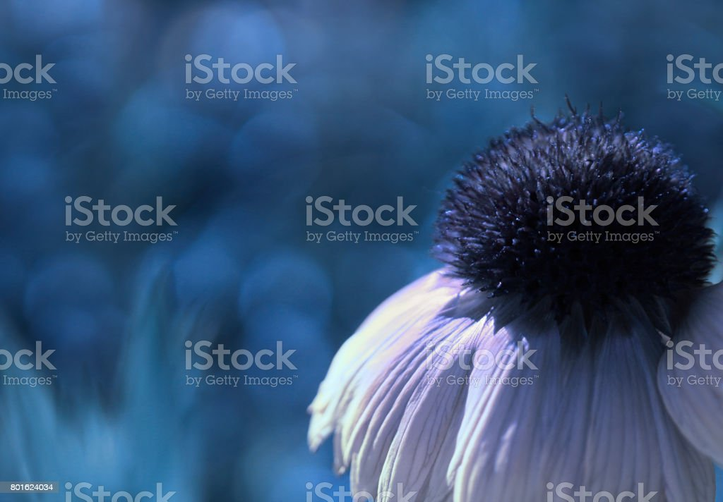 A white-blue flower on a blue blurred bokeh background. Close-up. Floral background. Soft focus. Nature. stock photo