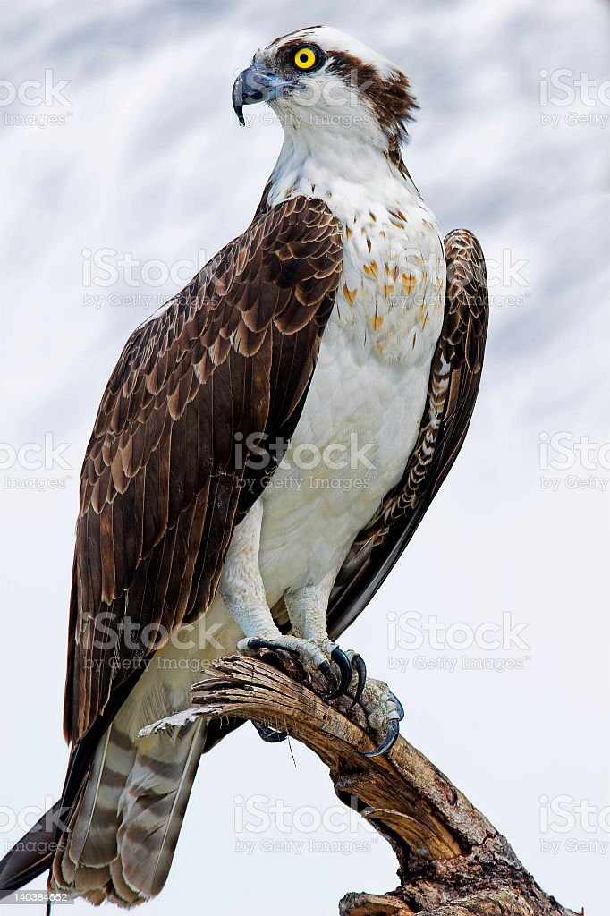 White-bodied osprey with brown wings and yellow eye on perch stock photo