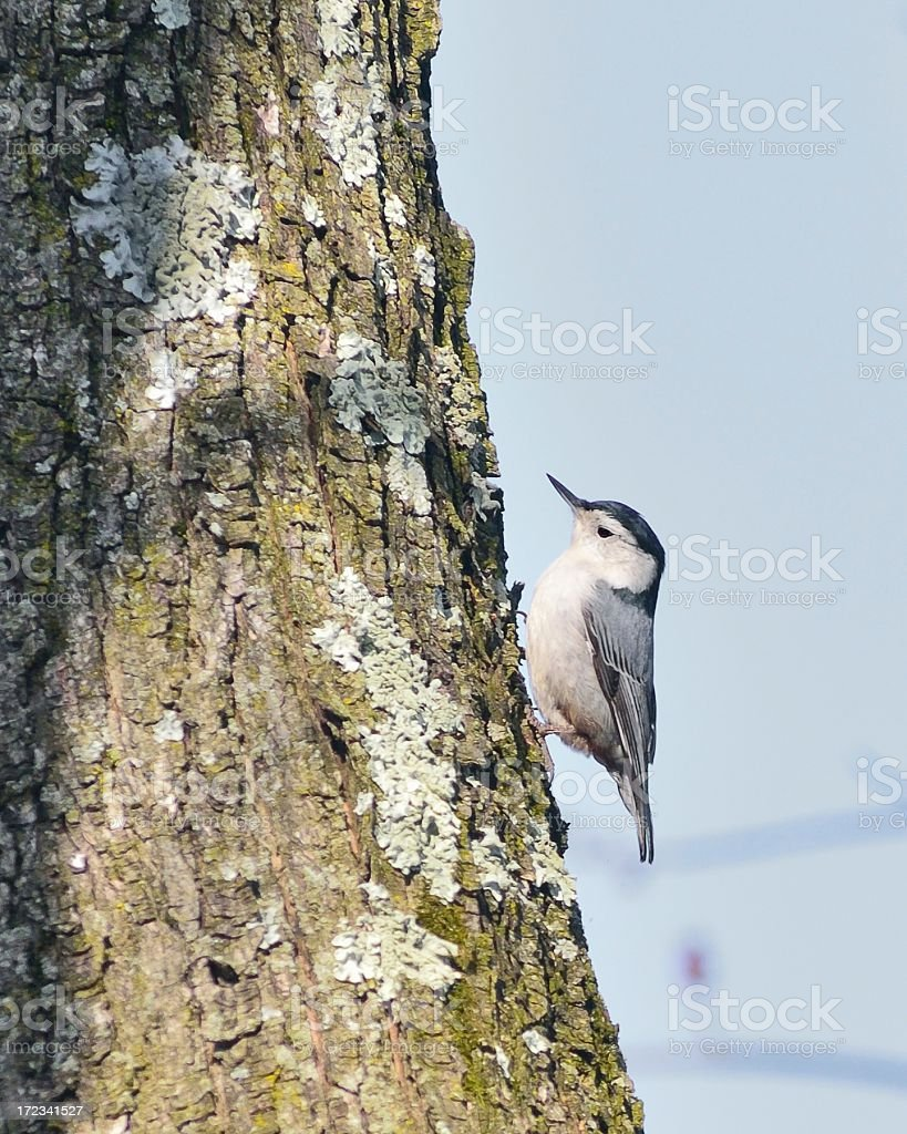 White-breasted Nuthatch, Sitta carolinensis, On Tree royalty-free stock photo