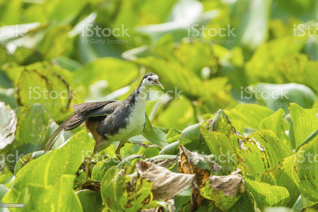 White-breasted Waterhen bird royalty-free stock photo