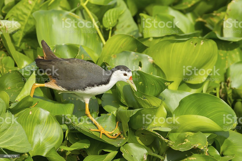 White-breasted Waterhen stock photo
