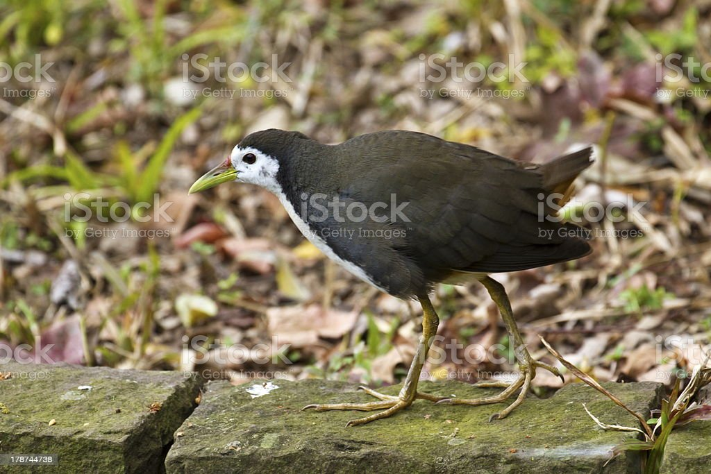 White-breasted Waterhen,Amaurornis phoenicurus royalty-free stock photo