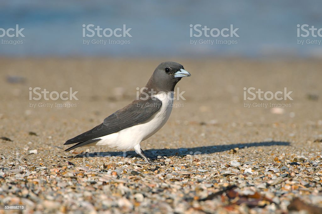 White-breasted Woodswallow on beach in Australia stock photo