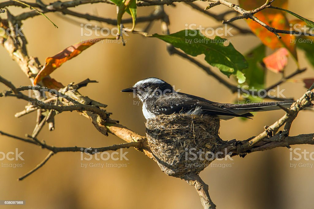 White-browed fantail flycatcher in Uda walawe national park, Sri stock photo
