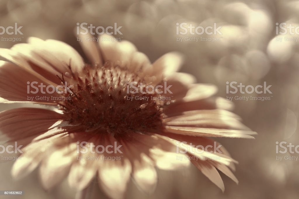 White-brown garden flower on a  white-brown blurred background bokeh. Close-up. Floral background. Soft focus.Bbloom in the sun. Floral background. Nature. stock photo