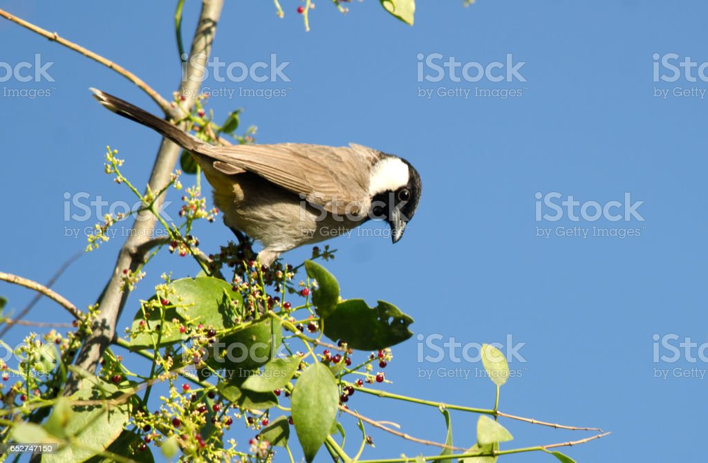 White-cheeked Bulbul stock photo