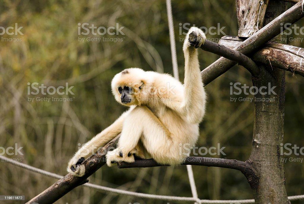 White-Cheeked Gibbon stock photo